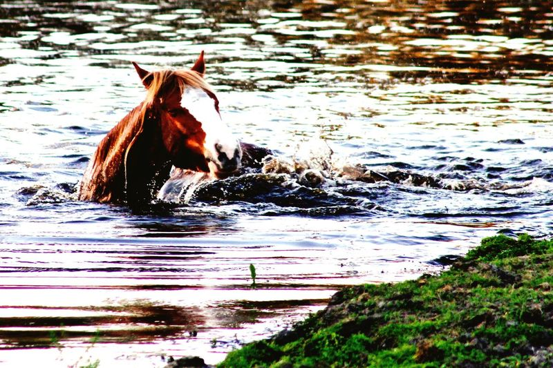 Horse swimming Beautiful Nature Horse Photography  Horse Life Horses Wild Horses Mustang Check This Out