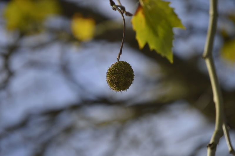 Autumn Conker Shell Beauty In Nature Branch Close-up Conker Tree Green Color Leaf Plant Selective Focus Tree Twig