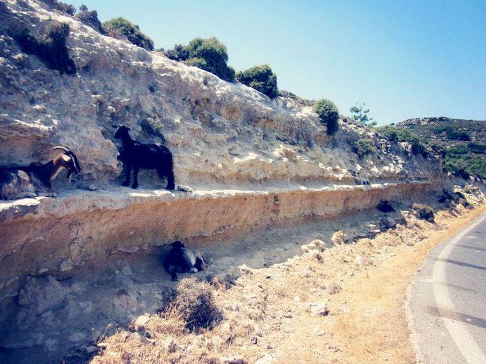 Climbing Goats Greece Crete