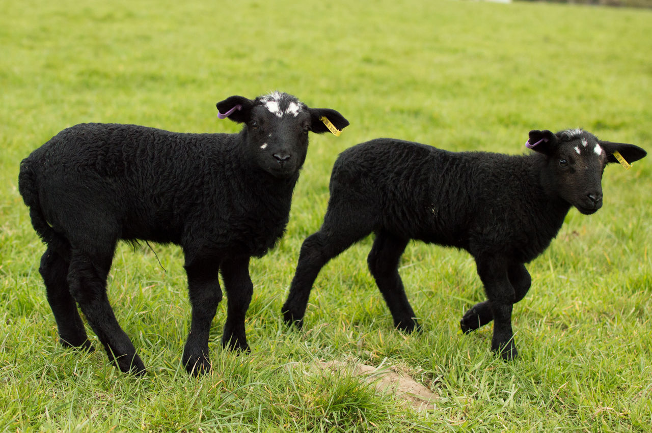 Black Lambs On Grassy Field