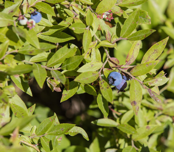 Animal Themes Animals In The Wild Beauty In Nature Close-up Day Green Color Growth High Angle View Insect Ladybug Leaf Nature No People One Animal Outdoors Plant Wild Blueberries