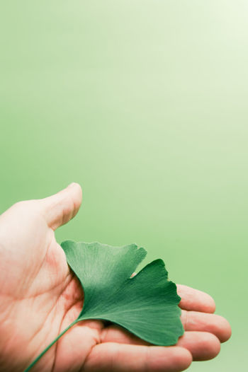Ginkgo Calm Ginkgo Medicine Meditation Attentiveness Balance Biological Close-up Environment Esthetic Ginkgo Leaf Green Color Harmony With Nature Healthcare And Medicine Healthy Lifestyle Holding Human Body Part Human Hand Leaf Memory Natural Medicine Naturel Satisfaction Studio Shot Tender