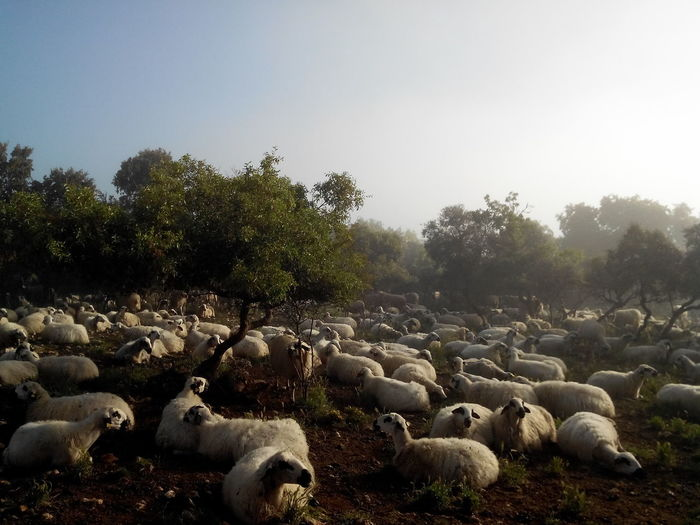 Sheep On Landscape With Trees Against Clear Sky