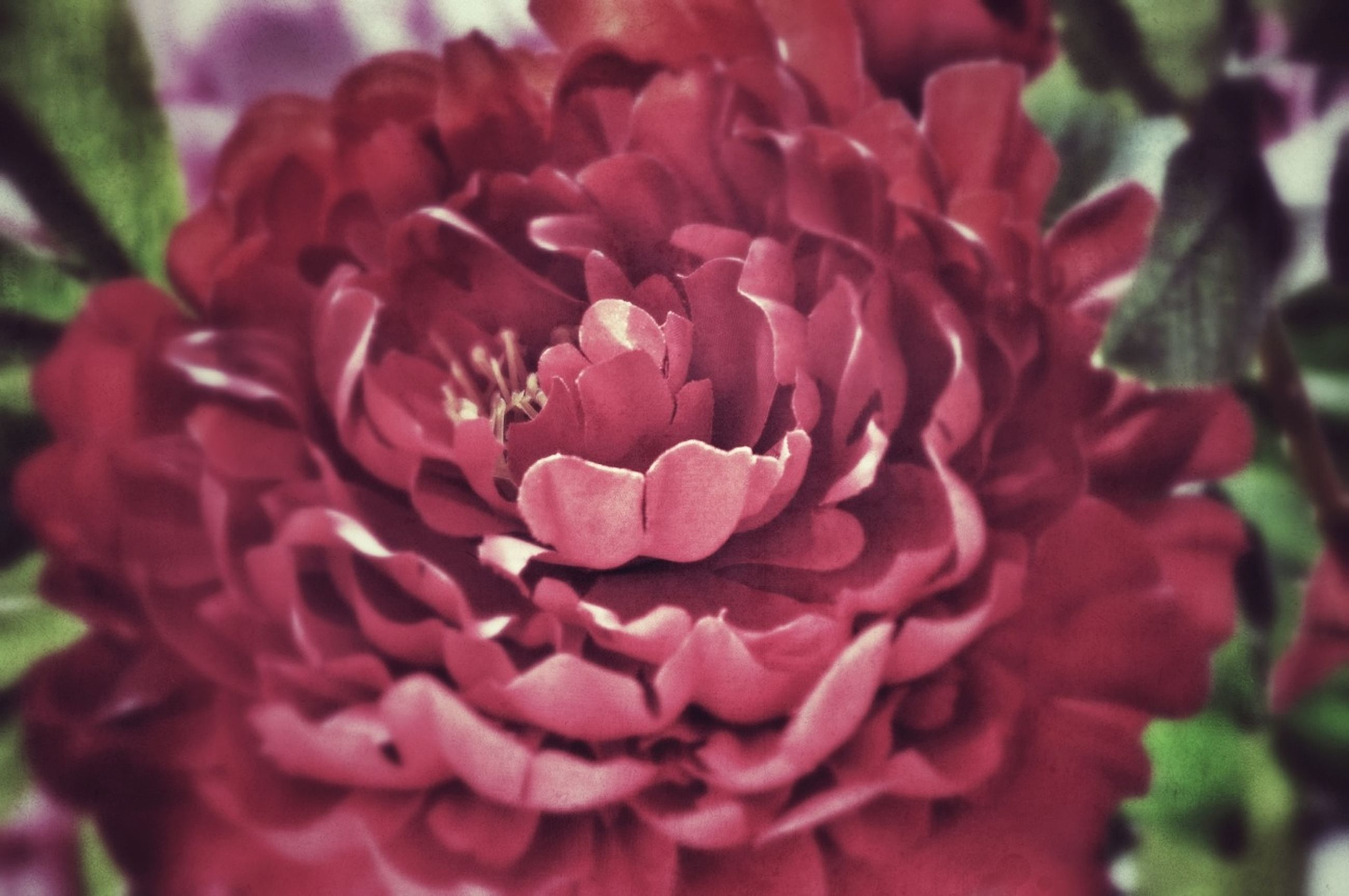 flower, petal, freshness, flower head, fragility, growth, close-up, beauty in nature, focus on foreground, nature, blooming, plant, single flower, pink color, in bloom, red, rose - flower, day, park - man made space, outdoors
