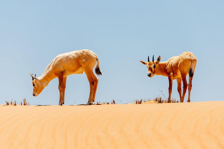 Flock of deer on sand