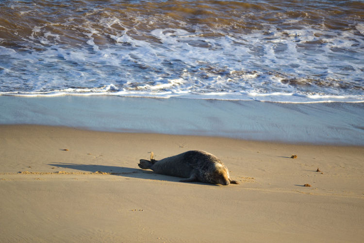 Grey seal on shore at beach