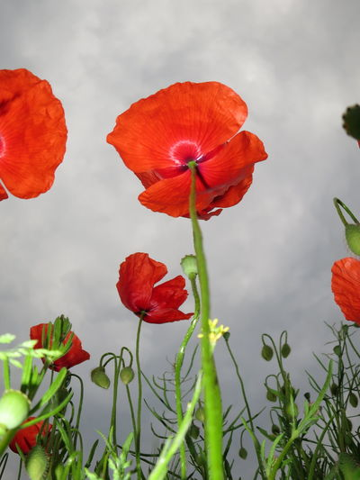 27.Mai 2016 Beauty In Nature Blooming Botany Close-up Cloud Cloud - Sky Cloudy Field Flower Flower Head Focus On Foreground Fragility Freshness Growth In Bloom Nature Nature's Diversities Orange Color Petal Plant Poppies  Poppy Red Sky Stem