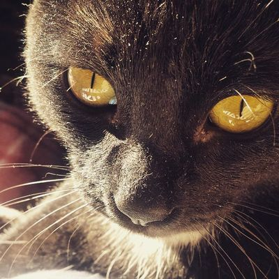 Rocco Douglas Boiler Catoftheday Cataholic Blackcats Instacats Puttanino