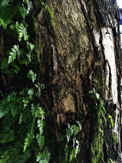 It's all in the details... Tree Growth Day Nature Full Frame Leaf Backgrounds Outdoors Green Color Plant No People Tree Trunk Branch Beauty In Nature Close-up Ferns Tree Bark Texture Tree Bark Tree Bark Patterns Tree Bark Beauty Tree Bark Colors Bark Bark Texture Barks Of A Tree Textures And Surfaces Perspectives On Nature Summer Road Tripping
