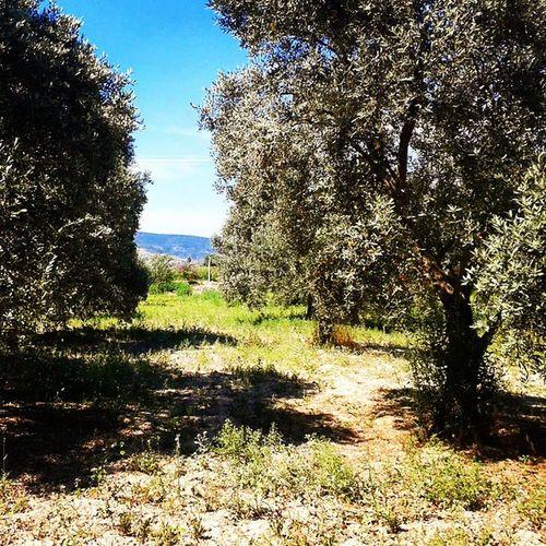 Zeytin Ağaçlarımizdan Hasataazkaldi