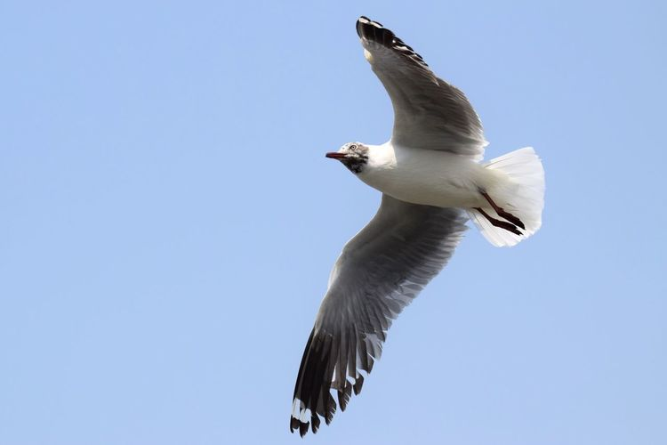 Gull on Ferry Boat . Bird Animal Themes Animals In The Wild Spread Wings Flying Low Angle View One Animal Clear Sky Animal Wildlife Nature Day No People Full Length Outdoors Sky