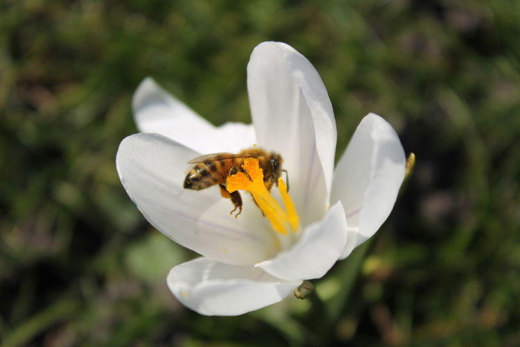 High angle view of bee on white crocus flower