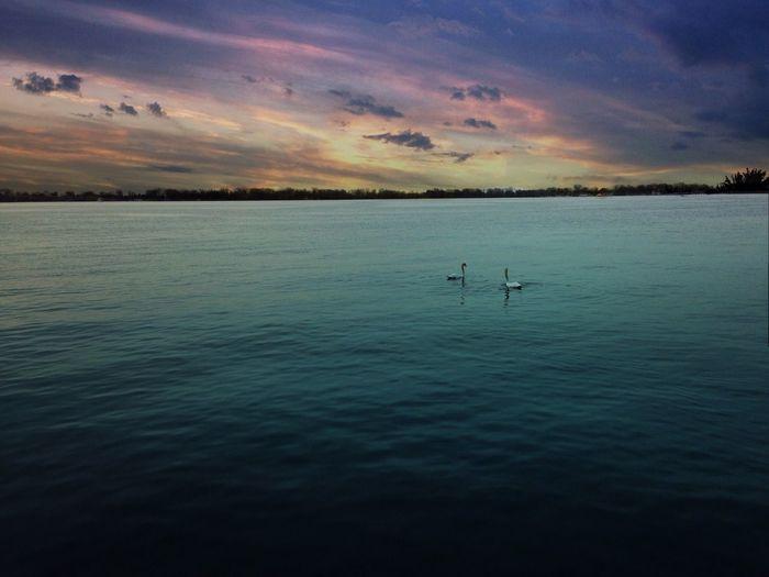 Swans a