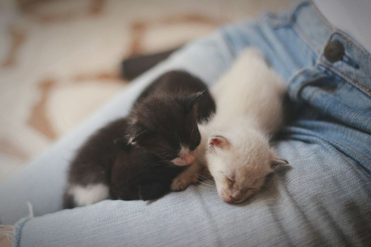 High angle view of kittens relaxing on person lap at home
