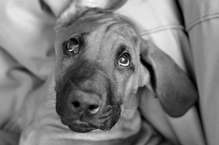 few months ago .. before becoming a horse Dogs Of EyeEm Dog Photography Dog Dog Love Pets Close-up Focus On Foreground Blackandwhite Blackandwhite Photography Rhodesianridgeback My Ben On Eyeem