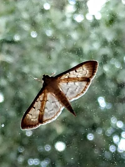 Vita brevis Butterfly - Insect Insect Animal Wing Animal Themes Close-up Moth Invertebrate Winged