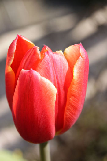 colorful tulip Tulips Beauty In Nature Blooming Close-up Colorful Day Flower Flower Collection Flower Head Flowers Focus On Foreground Freshness Nature No People Outdoors Petal Plant Red Red Yellow Spring Spring Flowers Springtime Tulip Tulip Head Tulips Flowers
