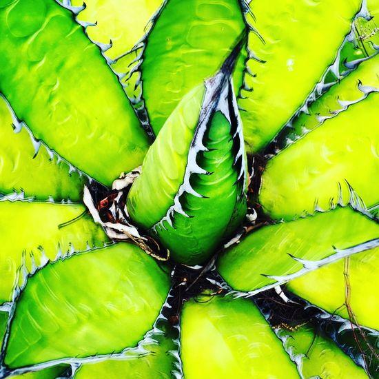 Cactus Cactus Verde Naturaleza Tepoztlan