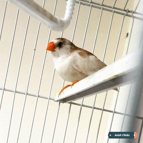 ❤ Finch ❤ Recently got few finches. They are lovely and I am totally in love with 'em ☺ Small cute birds. Love Finch Birds Bird Birdlove BirdLovers Cute Asishclicks Petlover Petlovers Pets Pet Birdgang Love Kottayam Kerala India Birdlife Charming