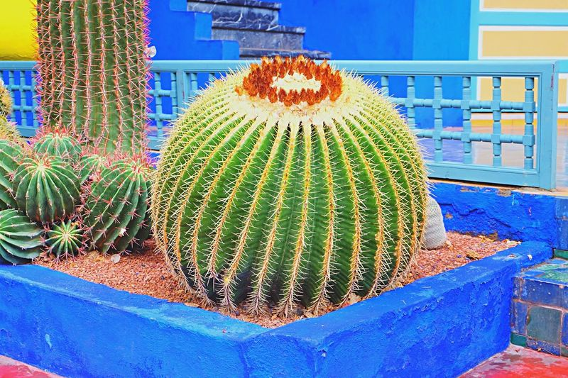 Yves Saint Laurent Jardin Majorelle Marrakech Morocco Cactus