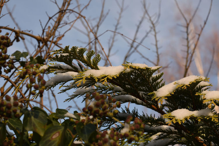 Low Angle View Of Snow On Branch
