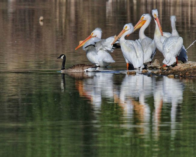 Peaceful Kingdom Animals In The Wild Bird Reflection Lake Nature Water Beauty In Nature No People Pelican White Pelicans