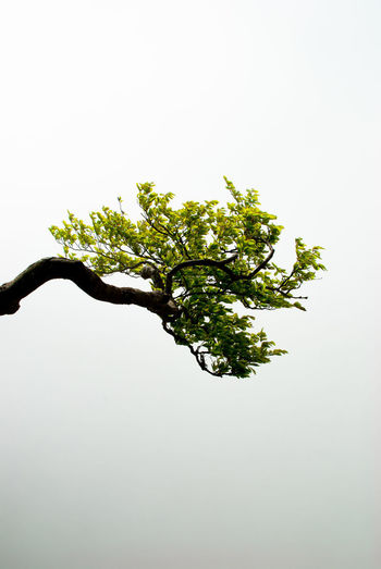 one single branch Nikon Trees Beauty In Nature Branch Close-up Copy Space Day Freshness Green Color Growth Indoors  Leaf Leaves Minimalism Nature Nikonphotography No People Photography Plant Plant Part Still Life Tree White Background