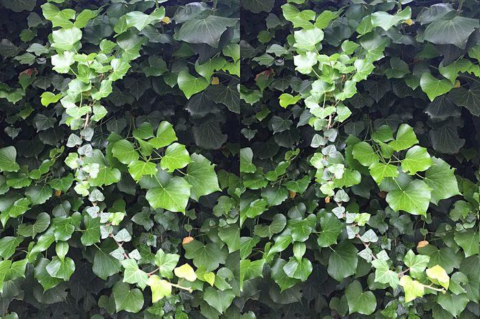 Le lierre qui cache le mur et plus opaque que l'arbre qui cache la forêt ! - Prudence, face à la multitude qui recouvre et masque totalement, car, face à un seul arbre, il y a toujours moyen de passer à côté ! Réflexion personnelle - Réflexion Personnelle Nature 3D 👉👀👈✌️☝️ Plantes STEREOGRAMME Relief Dans Mon Jardin Cross Eyes