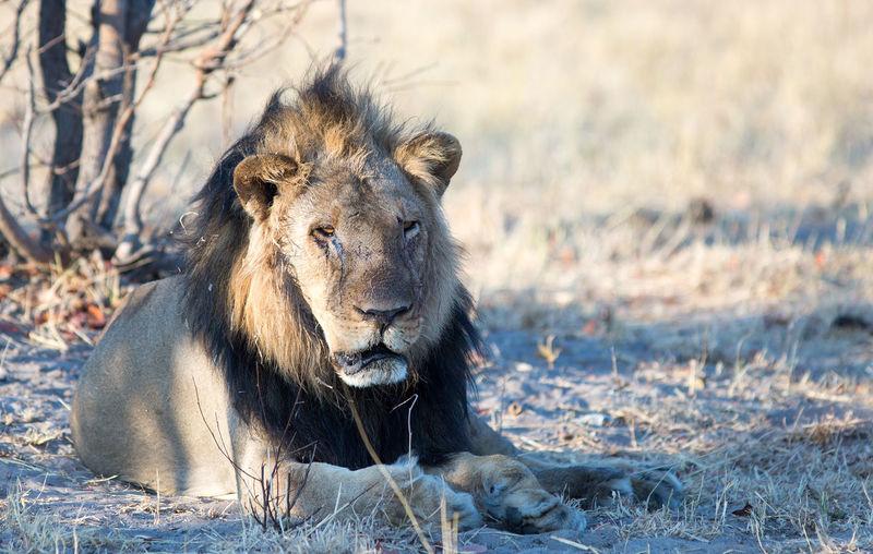 Animal Wildlife Animal Animal Themes Animals In The Wild Lion - Feline Mammal One Animal No People Male Animal Safari Outdoors Feline HW Hwange National Park Animals In The Wild Wildlife & Nature Wildlife
