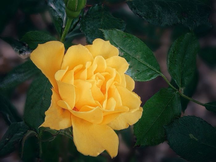 Keep love in your heart.💛 A life without it is like a sunless garden when flowers are dead. Tadaa Community Eyeem Friends Tadaa Friends EyeEm Nature Lover Beauty In Nature My Flower Garden Yellow Rose Blooming Close-up Fragility Yellow Rose - Flower to my friends Love You All