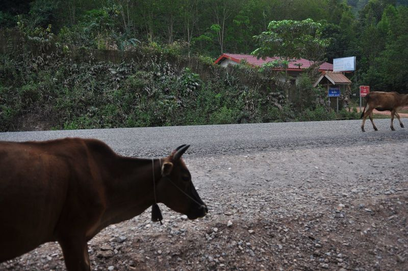 Travel Destinations Road Laos Photography Backpack Travel Mammal Animal Animal Themes Domestic Animals Domestic Pets Vertebrate Livestock Group Of Animals Horse Animal Wildlife Land Plant Field Day Side View Nature No People Two Animals Herbivorous
