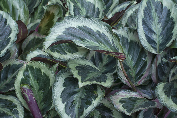 Calathea bicajous Green Color Leafs Plant Backgrounds Bicajous Calathea Close-up Freshness Green Color High Angle View Leaf Nature No People Pattern Plant Plant Part Stripes Pattern Texture Vegetable White