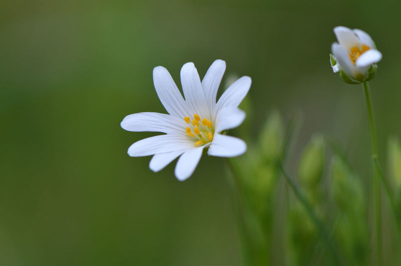 Starwort... Flower Beauty In Nature Nature Flower Head Plant Fragility Freshness Growth Close-up Petal Blossom Wildflower No People Beauty Outdoors Day Botany Flowers Chickweed Macro Macro_flower Stitchwort EyeEm Nature Lover Meadow Sternmiere