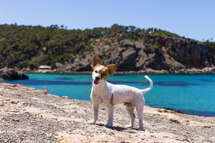 Portrait of dog on rock at beach against clear sky