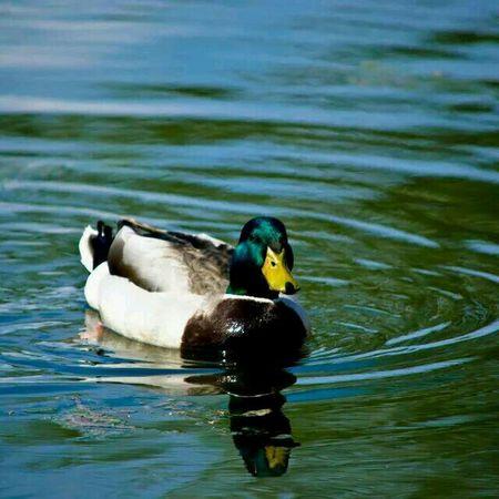 Ducks Reflections Summmer  Water
