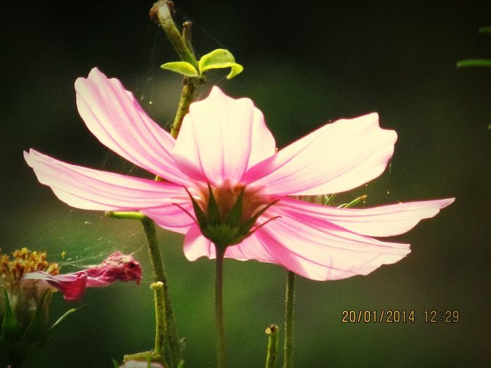 Flower Pink Color Petal Fragility Nature Plant Freshness Flower Head Beauty In Nature No People Day Outdoors Close-up Growth Water