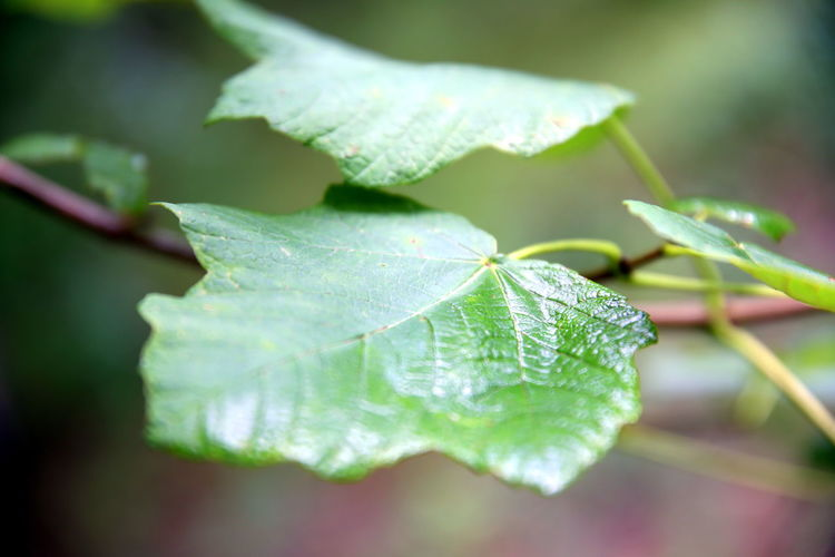 Close up of two wet green leaves with the forest as a background