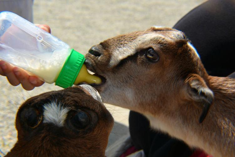 Animal Themes Baby Animals Bottle Close-up Domestic Animals Drink Drinking Farm Farm Life Feeding  Feeding Animals Goat Human Hand Hungry Hungry Goat Livestock Mammal Milk Milk Bottle Outdoors Pets Young Animal