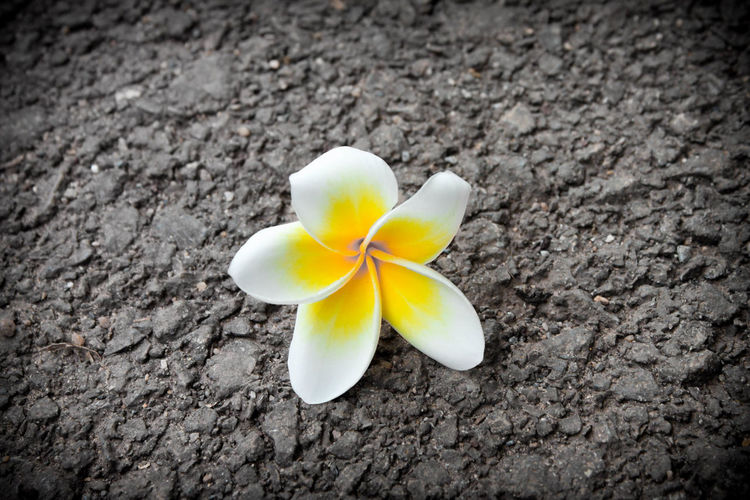 Beauty In Nature Flower Flower Head Fragility Frangipani Nature Outdoors Rord Yellow