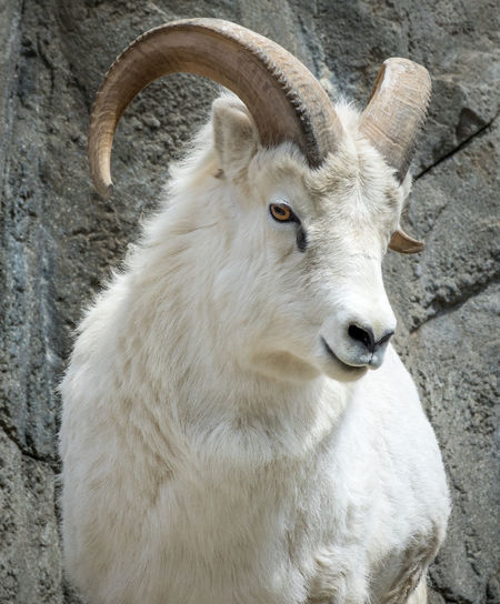 Animal Animal Body Part Animal Head  Animal Themes Animal Wildlife Animals In The Wild Close-up Day Domestic Domestic Animals Herbivorous Horned Livestock Looking Mammal No People One Animal Pets Vertebrate White Color