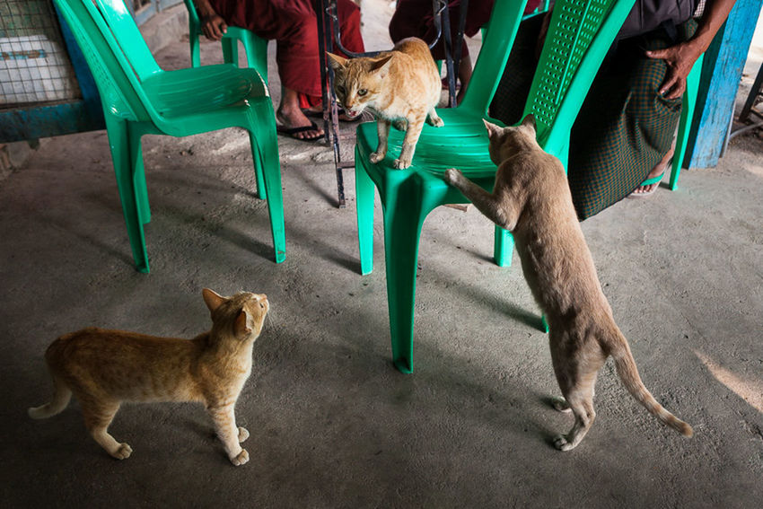 Cats playing in a cafe near Mandalay, Myanmar. ASIA Burmese Cafe Cat Cats Cats Life Chairs Composition Daily Life Day Domestic Animals Feline Felines Frame Green Life Mammal Myanmar No People Pets Play Southeastasia Streetphotography Streetshot Travel