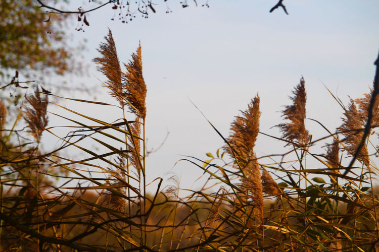 Close-up of dry plants on field against sky
