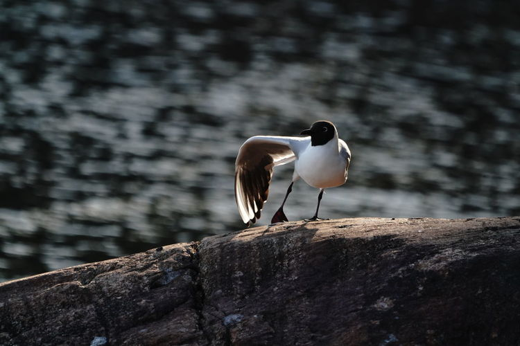 High Angle View Of Black-Headed Gull Perching On Rock