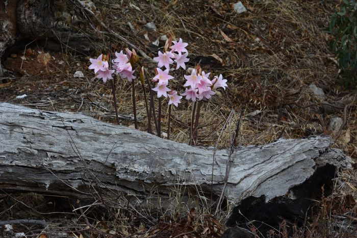 Belladonna Lily Flower Nature Fragility Growth Day No People Plant Outdoors Beauty In Nature Close-up Freshness Branch Grass Flower Head