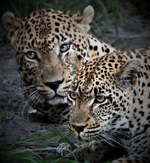 Animal Themes Animals In The Wild Day Feline Leopard Leopard Pair Leopard Stares Leopards Mammal No People Outdoors Pair Safari Animals Spotted