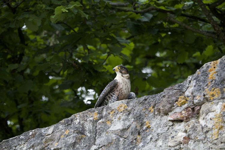 Low angle view of peregrine falcon perching on wall
