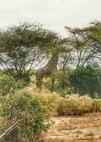 Giraffe Trees Branches Landscape_photography Africa Kenya Masai Mara Wildlife Photography Safari Maasai Mara Animal Photography Animal_collection Animals Nature Photography Wildlife & Nature Landscape_photography In The Wild In The Wild And Capturing Freedom Landscape_photography Tsavo