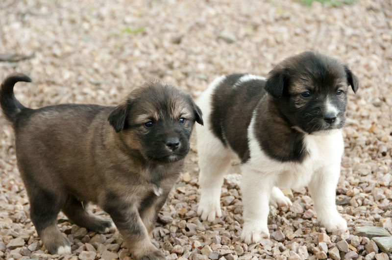 Aidi Breed Puppies - Morocco Morocco Aidi Breed Aidi Dog Dog Domestic Animals Pets Puppy Young Animal