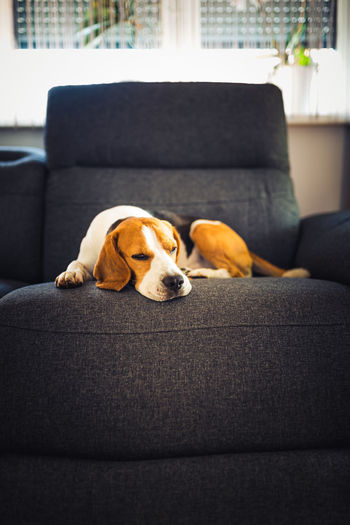 Dog relaxing on sofa at home