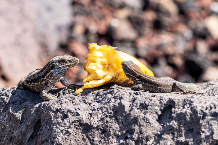 La palma wall lizards, gallotia galloti palmae. the male lizard has light blue coloring under neck